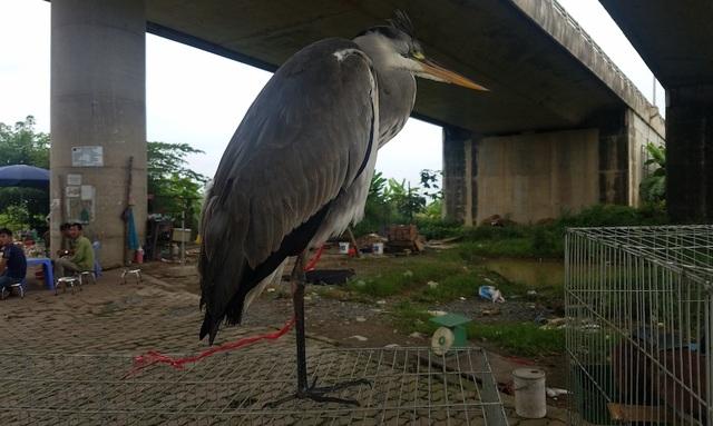 Một con chim giang không may bị dính bẫy, được chào giá lên tới 800 nghìn đồng.