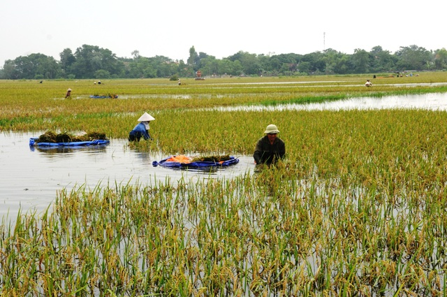 Nông dân gặt lúa non, chạy lũ tránh bị nảy mầm.