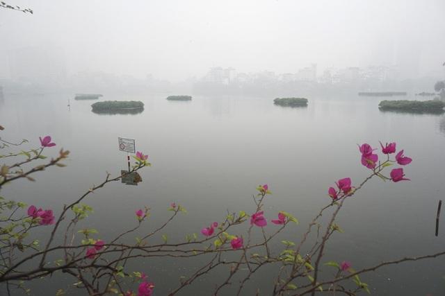 Những bông hoa hoa giấy nở ven hồ Trúc Bạch mờ sương. Cùng với mây mù, nhiệt độ ngoài trời cũng giảm, tuy chưa đến mức quá rét.