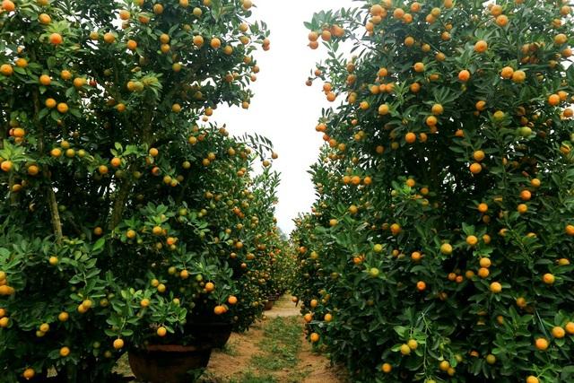Do thời tiết thất thường nên quất năm nay trái nhỏ hơn so với năm ngoài, nhưng cây vẫn xanh tốt và phát triển khỏe mạnh