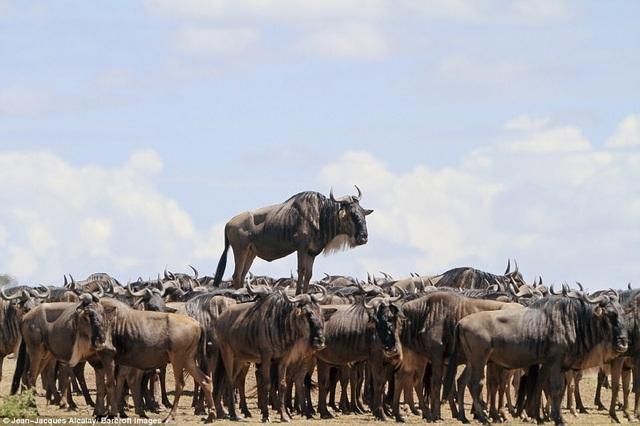 """Tay máy Jean-Jacques Alcalay là tác giả đứng sau khoảnh khắc chụp một con linh dương đầu bò xanh """"cưỡi"""" đàn linh dương ở vườn quốc gia Masai Mara, Kenya."""
