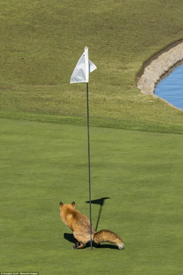 """Tay máy Douglas Croft và khoảnh khắc nhiếp ảnh thực sự hài hước ghi lại hình ảnh một con cáo """"giải quyết nỗi buồn"""" bên một lỗ golf ở San Jose, Mỹ."""
