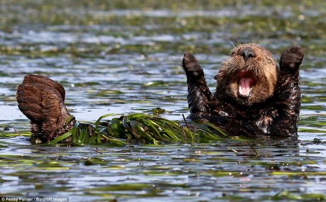 Nhiếp ảnh gia Penny Palmer và khoảnh khắc chụp một con rái cá vui vẻ đùa nghịch bên bãi sậy ở California, Mỹ.