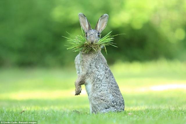 Nhiếp ảnh gia Olivier Colle chụp con thỏ rừng ngậm trong miệng những nhánh cỏ. Ảnh chụp ở Flanders, Bỉ.