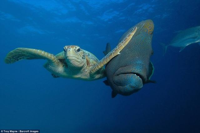 """Nhiếp ảnh gia Troy Mayne giành chiến thắng ở hạng mục ảnh """"Dưới biển"""" với khoảnh khắc chụp một con rùa biển vô tình """"tát"""" vào đầu một con cá bơi ngang qua nó. Ảnh chụp ở Bacong, Philippines."""