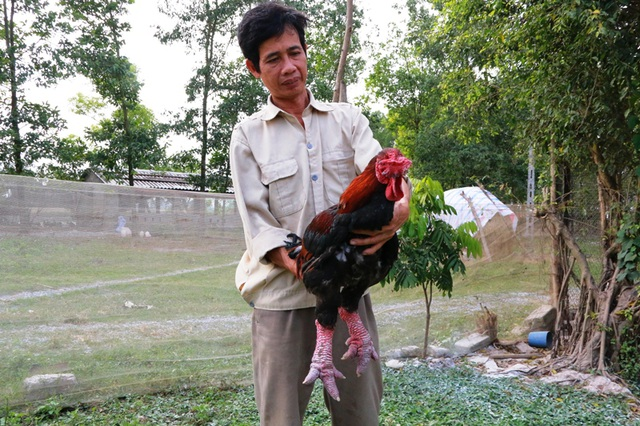 Những con gà Đông Tảo có đôi chân to, lông đẹp, da đỏ, đầu và mào đẹp như thế này có giá không hề rẻ, nhưng cũng đã có khách hàng là đại gia trong tỉnh đế mua về ăn Tết.