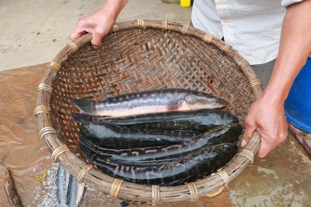 Thịt cá lóc bông ngon, sạch nên được nhiều người ưa thích.