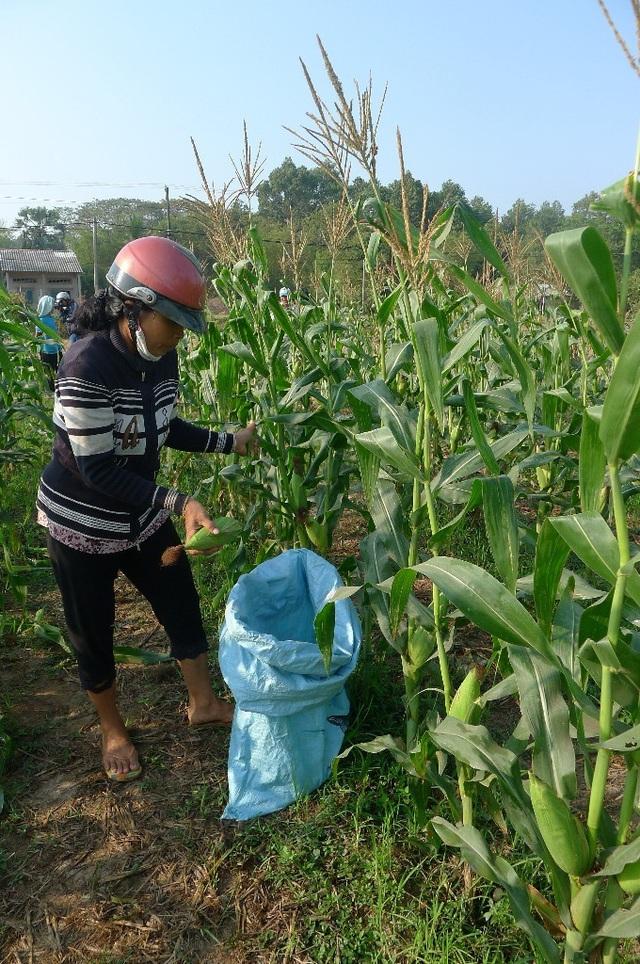 Chi Nga thu hoạch bắp