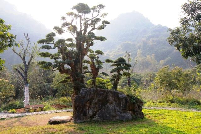 """Theo quan niệm của người Việt Nam, thế cây này có nghĩa là """"Ngũ Phúc"""": Trường thọ, Phú quý, Khang Ninh, Hiếu Đức và Thiện Chung. Ngoài ra, dáng của cây duối nhìn theo hướng khác còn có nghĩa là """"Phụ tử"""": Tình cảm của người cha dành cho các con (thân cây chính cao thẳng, to lớn che chở cho các thân cây con)."""
