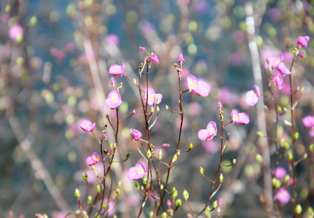 """Hoa nhĩ cán """"nhuộm"""" tím Vườn Quốc gia Tràm Chim - 4"""