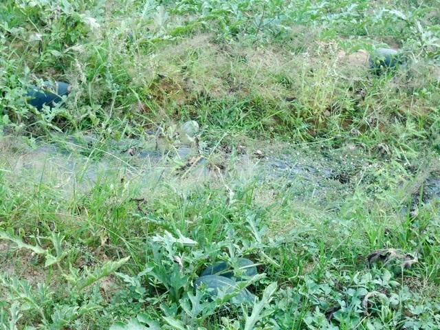 Một số ruộng dưa của nông dân đang có tình trạng dưa nhỏ, sâu bệnh do đất trồng lặp lại nhiều năm, thời tiết thất thường