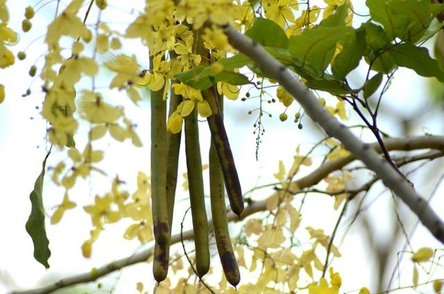 """Muồng Hoàng Yến được trồng làm cảnh ở nhiều nước trên thế giới và cũng đã được y học ghi chép từ rất lâu trong dược điển Ấn Độ. Nó được gọi là """"aragvadha"""" nghĩa là """"tiêu diệt bệnh""""."""