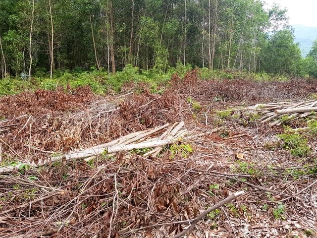 Rừng keo đã khai thác nhưng không được chở đi bán khiến khô héo