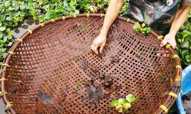 Dụng cụ bắt cua đơn giản, chỉ cần một chiếc rổ lớn đan bằng tre sau đi đến các kênh mương để hớt cua nằm dưới các lớp bèo tây.