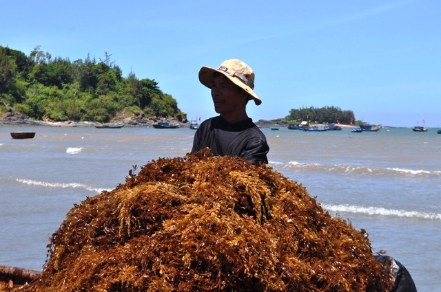 Nghề hái rong mơ cũng mang lại thu nhập khá cho nhiều ngư dân