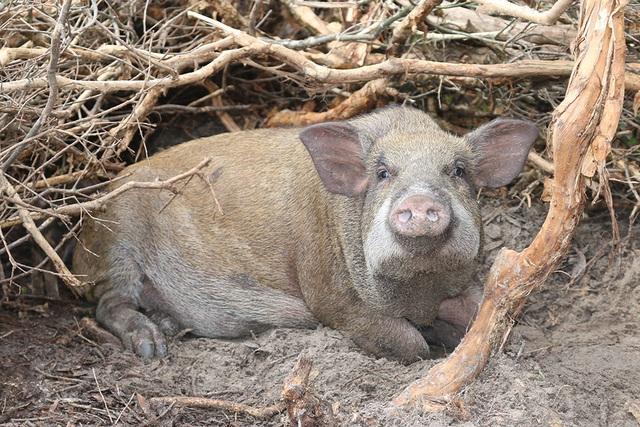 Mê mẩn đàn lợn rừng tiền tỷ ở miền biển - 10