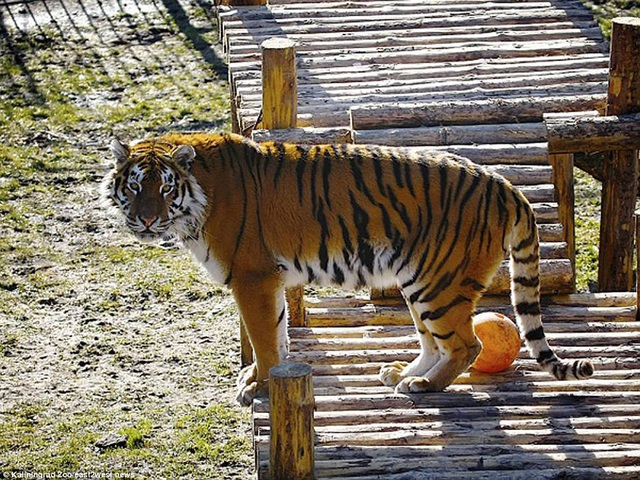 Hổ Siberia là loài hổ lớn nhất thế giới. Sau khi người nữ nhân viên đã chạy thoát, các nhân viên khác của vườn thú đã tới chuồng của hổ Typhoon để tiêm thuốc an thần cho nó. Nhà chức trách cho biết sẽ điều tra vụ việc.
