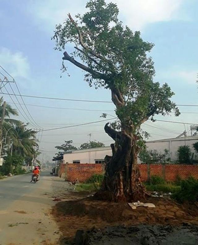 Cây Sộp cổ thụ hàng trăm năm tuổi đã được trồng trở lại vị trí cũ trên đường Trường Lưu trong sự vui mừng của người dân địa phương.