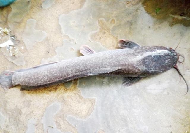 Con cá trê dài gần 1 mét mà người dân bắt được.