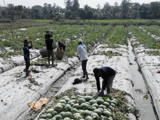 Nông dân xã Xuân Thắng, huyện Thới Lai thu hoạch dưa hấu