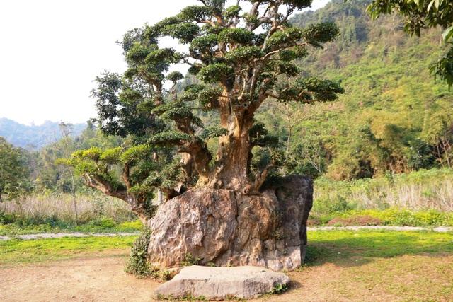 Để xác định tuổi đời của cây, các nhà chuyên môn về sinh vật cảnh trong nước đã về đây thẩm định và cho biết cây duối này có niên đại 1.000 năm tuổi. Trải qua 10 thế kỷ, cây duối vẫn xanh tốt và bám rễ chặt vào tảng đá.