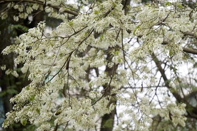 Hà Nội vào mùa hoa sưa trắng - 5