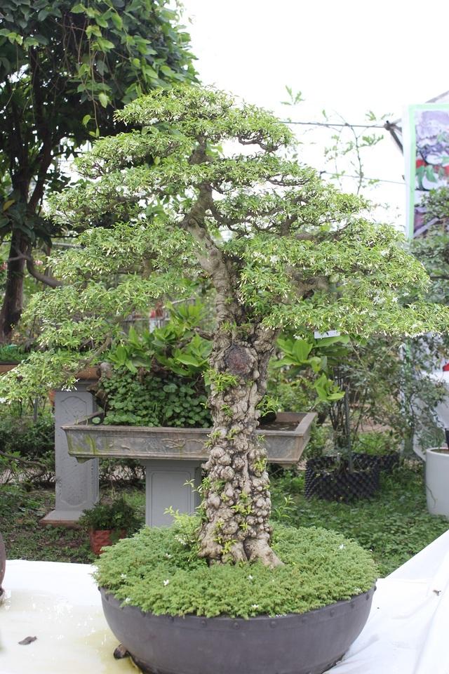 Tác phẩm Mai Chiếu Thủy của tác giả Tạ Huỳnh. Cây có dáng trực, thân cổ kính, tán lá xòe rộng và nở hoa trắng muốt. Điều đặc biệt cây lại là bonsai cổ thụ trồng trong chậu, nhiều người chơi định giá cây vào khoảng 500 – 700 triệu đồng.