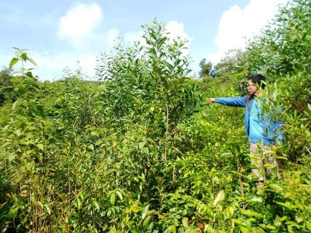 Sau khi chặt hạ cây rừng, các đối tượng này đưa cây keo lai đến trồng trái phép