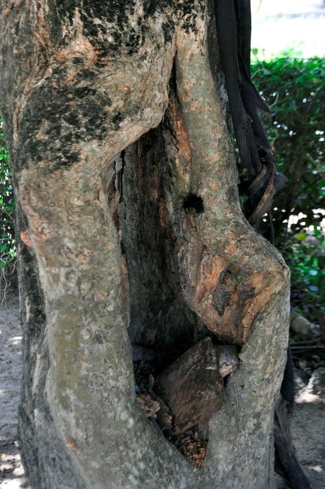 """Thân cây xù xì và có các hốc cây nhìn rất đẹp. Cây càng lớn, thân cây càng xù xì, nhiều """"cục u"""" nổi lên rất đẹp được nhiều người chơi cây cảnh ưa thích"""