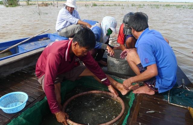 Khi mua cá linh non, các thương lái dùng một chiếc gỗ to thế này để lọc cá đúng kích cỡ