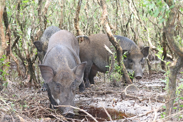 Ngoài ra, việc chăn nuôi này còn cung cấp nguồn thực phẩm sạch, hiếm, tránh sự săn bắt động vật hoang dã trên rừng.