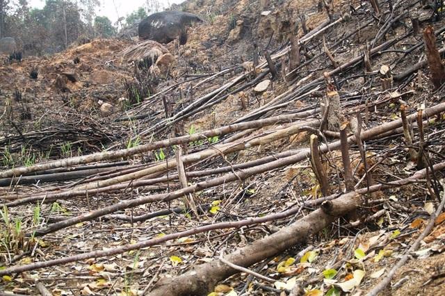 Cận cảnh hiện trường rừng ở hố Lở, tiểu khu 343 bị xóa trắng, đốt thực bì