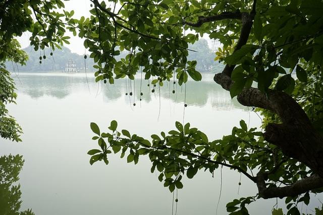 Cây lộc vừng rủ bóng trên mặt nước hồ Gươm xanh biếc.