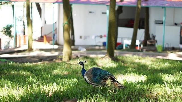 Chú chim công tự do đi kiếm ăn ngoài thiên nhiên