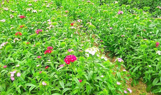 Loài hoa păng xê đang được bà con nơi đây trồng thử nghiệm.