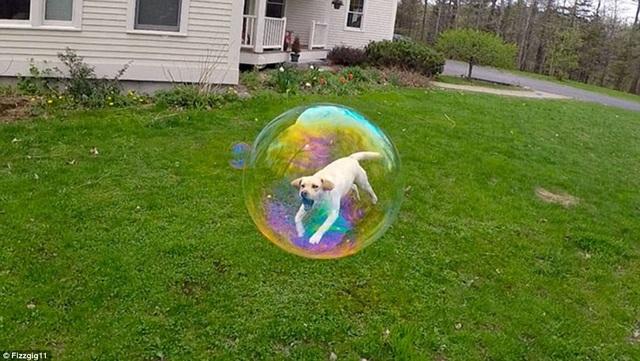 Chú chó trong trái bong bóng?