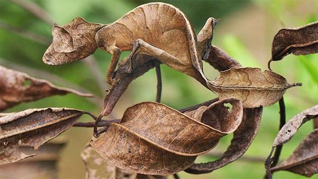 Tắc kè đuôi lá