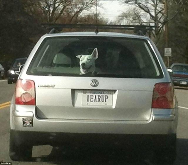"""Biển số xe """"1EARUP"""" (có thể hiểu vui là """"1-EAR-UP"""", """"một tai dựng"""")."""