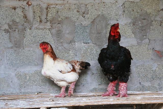 Hầu hết, các cặp gà như thế này đều đã được khách đặt mua nên anh Miền phải nhốt riêng ra chăm sóc riêng để khi khách đến bắt không bị nhầm lẫn.