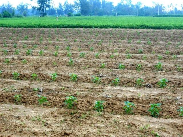Nhiều người đã chuyển sang trồng đậu, ớt