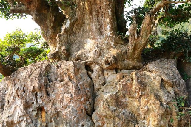 Mới nhìn, không thể phát hiện đâu là rễ và thân cây duối, đâu là tảng đá vì có sự gắn kết rất chặt chẽ. Màu thân và rễ cây theo thời gian cũng giống với màu của tảng đá. Người dân địa phương cho hay, cây duối này mang trong mình giá trị lịch sử lâu đời gắn liền với câu chuyện về vua Đinh Tiên Hoàng – người có công khai quốc công thần vùng đất Hoa Lư này nên ai cũng quý cây.
