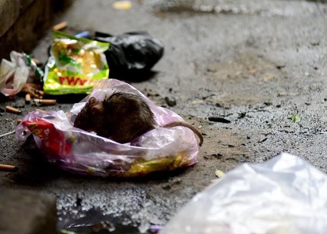 Tình trạng vứt rác bừa bãi là nơi tập trung của rất nhiều chuột.