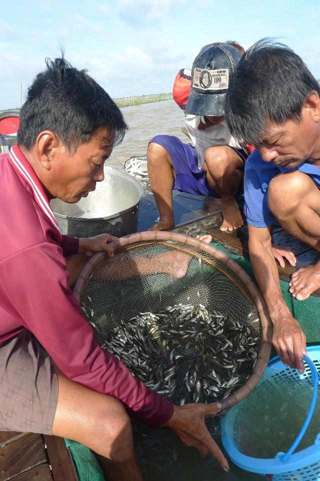 Trung bình mỗi buổi chợ, một thương lái mua trên dưới 1 tấn cá linh non