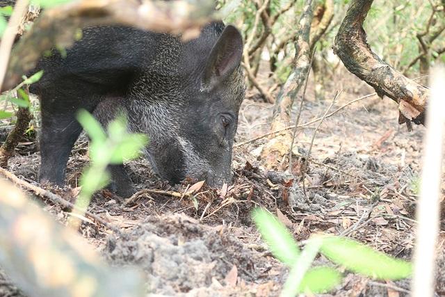 Mê mẩn đàn lợn rừng tiền tỷ ở miền biển - 7