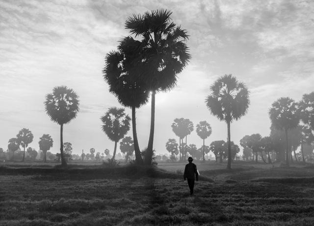 Ảnh đẹp trong ngày 25/10/2016. Một người nông dân băng qua cánh đồng thốt nốt vào một buổi sáng mờ sương ở Tịnh Biên, An Giang, giáp biên giới Việt Nam và Campuchia.