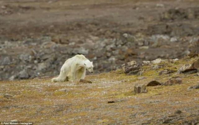 Người thực hiện đoạn clip này - nhiếp ảnh gia Paul Nicklen - cho biết anh đã vừa quay clip vừa khóc khi chứng kiến con gấu ốm đói lê lết tìm thức ăn và loạng choạng bước đi.