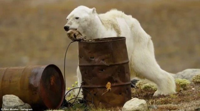 Đoạn clip đã nhanh chóng lan truyền trên mạng, khiến người xem thương cảm cho số phận con gấu trắng tội nghiệp.