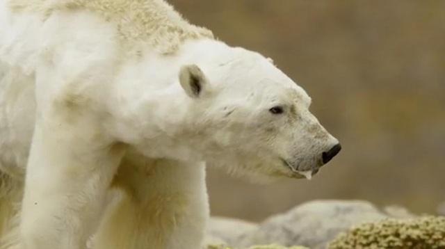 Nhiếp ảnh gia Paul Nicklen cho biết anh ghi lại thời khắc hấp hối của gấu trắng bởi anh không muốn cái chết của nó trở thành vô nghĩa.