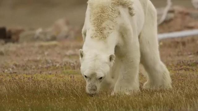 Tại Canada, việc cho gấu trắng hoang dã ăn là bất hợp pháp, nhưng ngay cả nếu được phép, anh Paul cũng hiểu rằng việc thoát khỏi cơn đói tại thời điểm đó chỉ là một sự trì hoãn cái chết không thể tránh khỏi của con gấu đã suy kiệt.