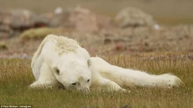 Nhiếp ảnh gia Paul Nicklen hy vọng sẽ khắc họa chân thực diện mạo của hiện tượng trái đất ấm lên thông qua một câu chuyện cụ thể.